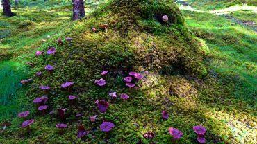 Sopptuve i den grønne skogen