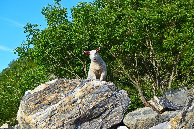 Ett lam på en stein i skogen